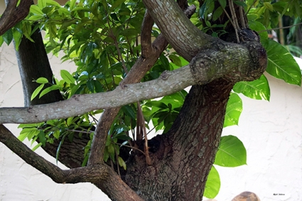 Nispero Tree ~ Photography by Rafael Salazar