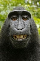 The Monkey Selfie - Art Law Journal